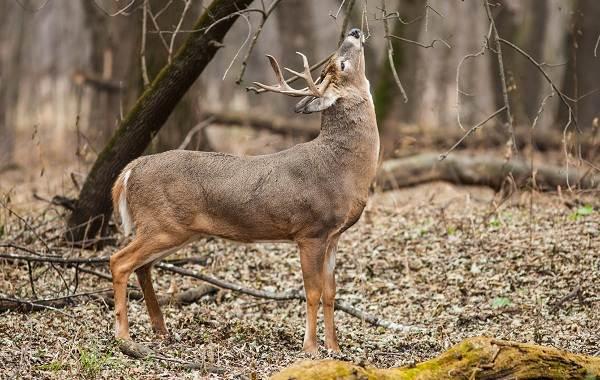Виды-оленей-Описание-особенности-фото-и-названия-видов-оленей-15
