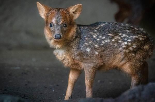 Виды-оленей-Описание-особенности-фото-и-названия-видов-оленей-18