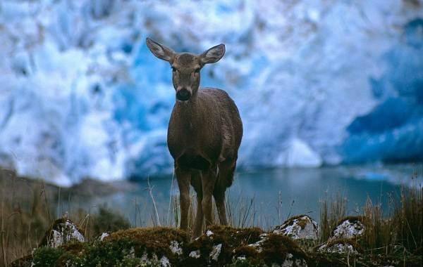 Виды-оленей-Описание-особенности-фото-и-названия-видов-оленей-19