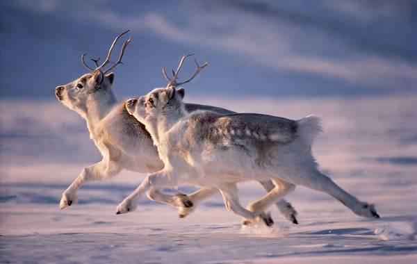 Виды-оленей-Описание-особенности-фото-и-названия-видов-оленей-21