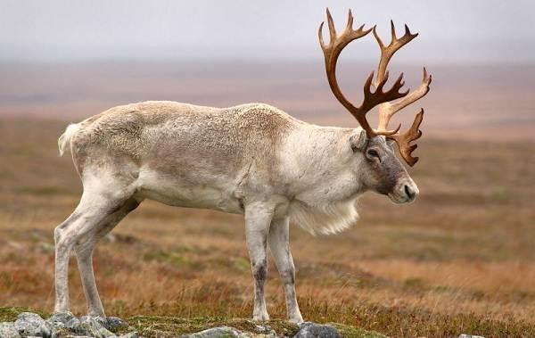 Виды-оленей-Описание-особенности-фото-и-названия-видов-оленей-25