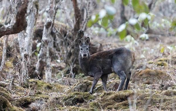 Виды-оленей-Описание-особенности-фото-и-названия-видов-оленей-26