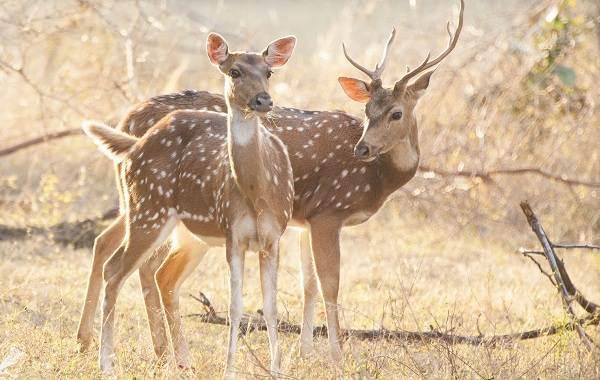 Виды-оленей-Описание-особенности-фото-и-названия-видов-оленей-6
