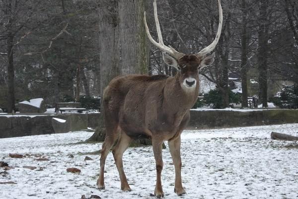 Виды-оленей-Описание-особенности-фото-и-названия-видов-оленей-7