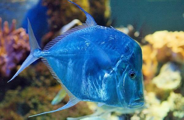 Рыба вомер : фото, где водится в России, ядовитая