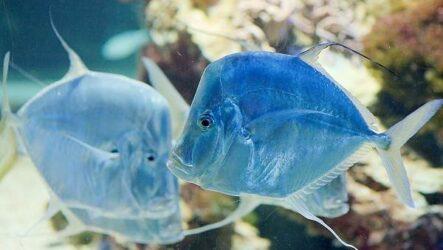 Вомер рыба. Описание, особенности, среда обитания и фото рыбы