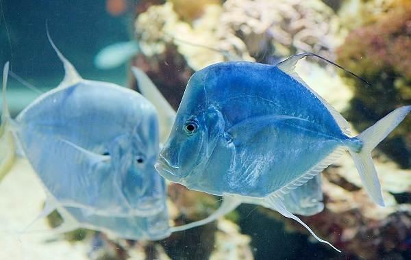Вомер-рыба-Описание-особенности-среда-обитания-и-фото-рыбы-2
