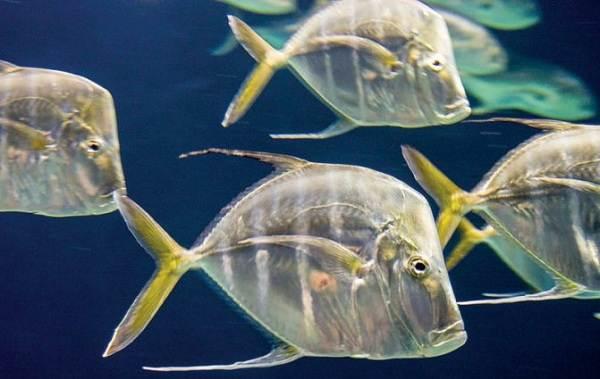 Вомер-рыба-Описание-особенности-среда-обитания-и-фото-рыбы-4