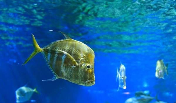Вомер-рыба-Описание-особенности-среда-обитания-и-фото-рыбы-5