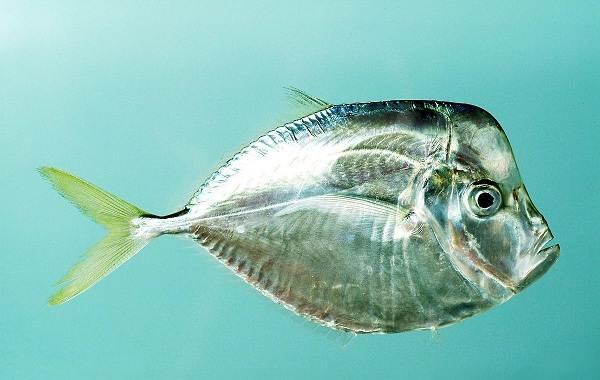 Вомер-рыба-Описание-особенности-среда-обитания-и-фото-рыбы-6