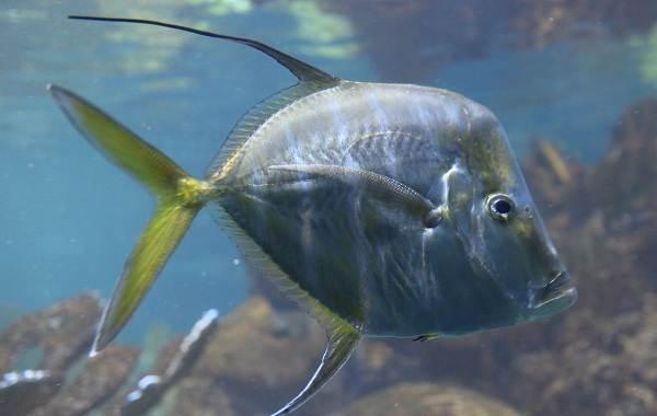 Вомер-рыба-Описание-особенности-среда-обитания-и-фото-рыбы-7