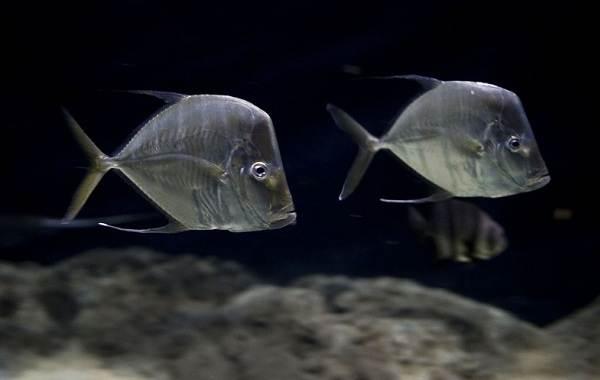 Вомер-рыба-Описание-особенности-среда-обитания-и-фото-рыбы-9