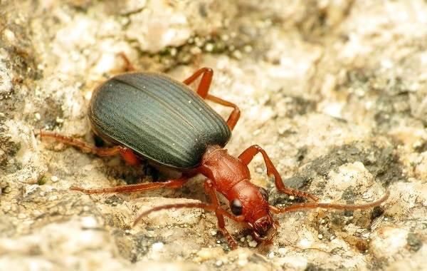 Жук-бомбардир-Особенности-образ-жизни-и-среда-обитания-насекомого-1