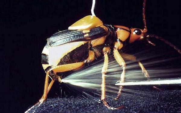 Жук-бомбардир-Особенности-образ-жизни-и-среда-обитания-насекомого-3