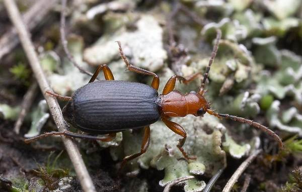 Жук-бомбардир-Особенности-образ-жизни-и-среда-обитания-насекомого-4
