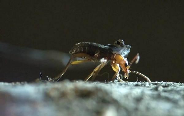 Жук-бомбардир-Особенности-образ-жизни-и-среда-обитания-насекомого-5