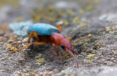 Жук бомбардир. Особенности, образ жизни и среда обитания насекомого