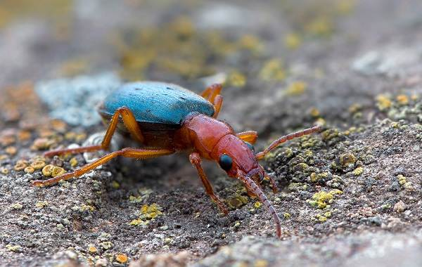 Жук-бомбардир-Особенности-образ-жизни-и-среда-обитания-насекомого-6