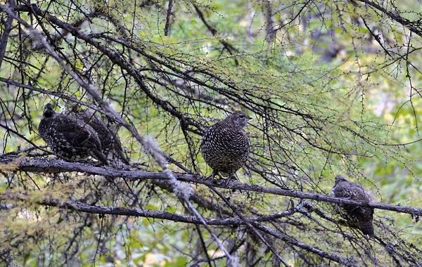 Дикуша-птица-Описание-особенности-образ-жизни-и-среда-обитания-4