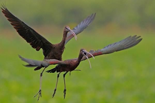 Каравайка-птица-Описание-особенности-виды-питание-и-образ-жизни-16