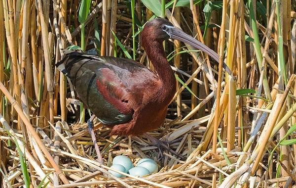 Каравайка-птица-Описание-особенности-виды-питание-и-образ-жизни-5