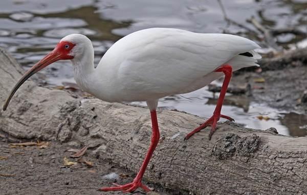 Каравайка-птица-Описание-особенности-виды-питание-и-образ-жизни-9