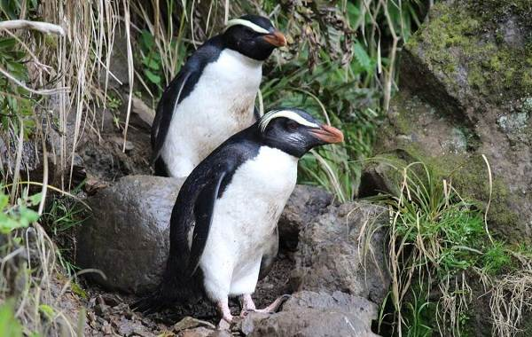 Виды-пингвинов-их-особенности-и-среда-обитания-10