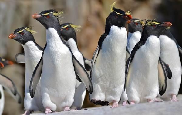 Виды-пингвинов-их-особенности-и-среда-обитания-11