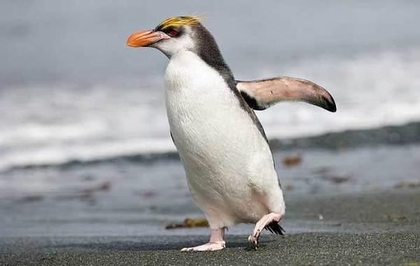 Виды-пингвинов-их-особенности-и-среда-обитания-12
