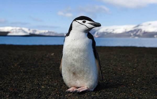 Виды-пингвинов-их-особенности-и-среда-обитания-16
