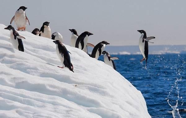 Виды-пингвинов-их-особенности-и-среда-обитания-17