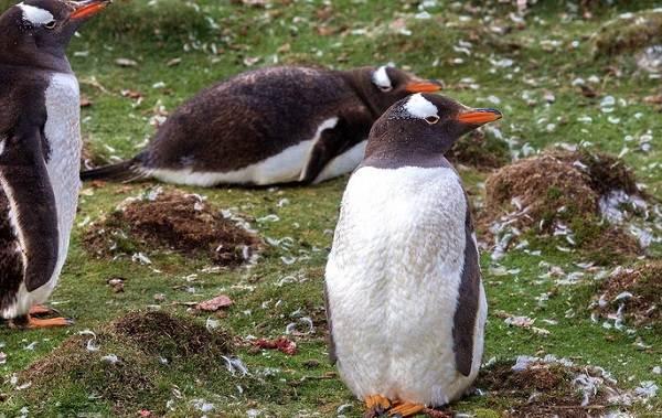 Виды-пингвинов-их-особенности-и-среда-обитания-18