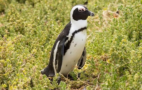 Виды-пингвинов-их-особенности-и-среда-обитания-19