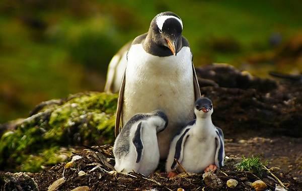Виды-пингвинов-их-особенности-и-среда-обитания-2