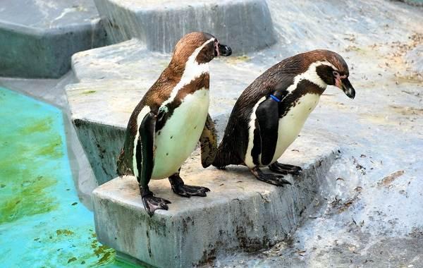 Виды-пингвинов-их-особенности-и-среда-обитания-21