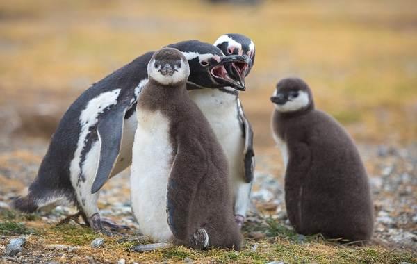 Виды-пингвинов-их-особенности-и-среда-обитания-22