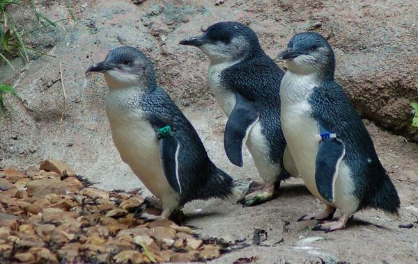 Виды-пингвинов-их-особенности-и-среда-обитания-23