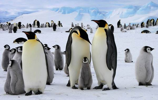 Виды-пингвинов-их-особенности-и-среда-обитания-4