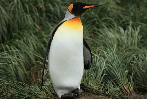 Виды-пингвинов-их-особенности-и-среда-обитания-5
