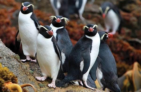 Виды-пингвинов-их-особенности-и-среда-обитания-6