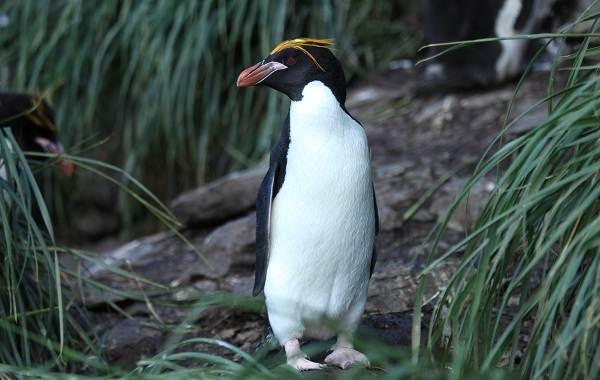 Виды-пингвинов-их-особенности-и-среда-обитания-7
