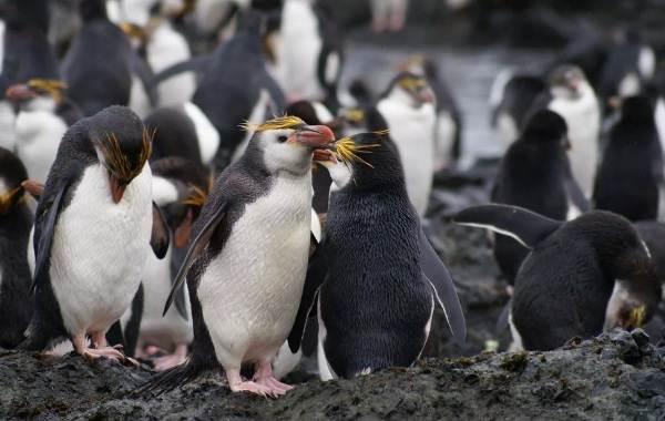 Виды-пингвинов-их-особенности-и-среда-обитания-8