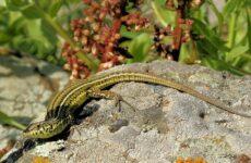 Виды ящериц с названиями, особенностями и фото