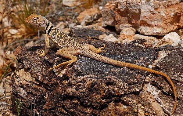 Виды-ящериц-с-названиями-особенностями-и-фото-14