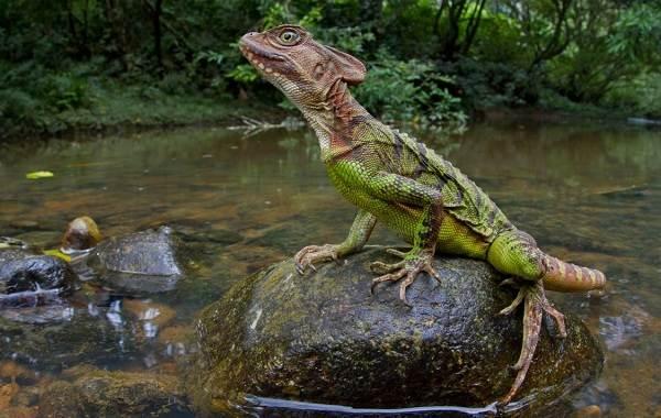 Виды-ящериц-с-названиями-особенностями-и-фото-18