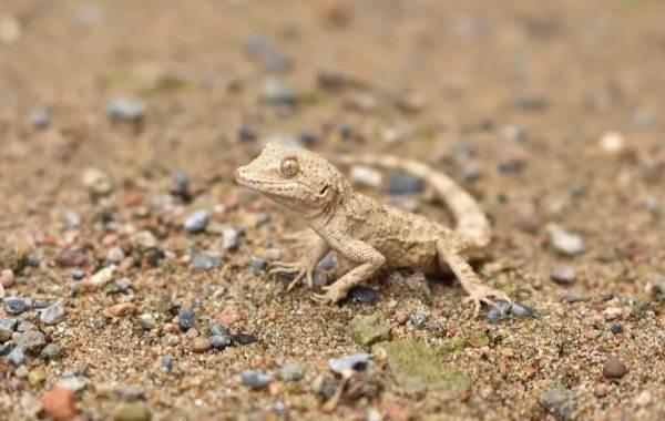Виды-ящериц-с-названиями-особенностями-и-фото-21