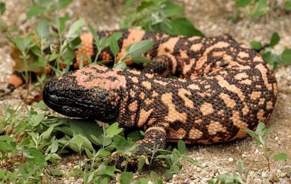 Виды-ящериц-с-названиями-особенностями-и-фото-32