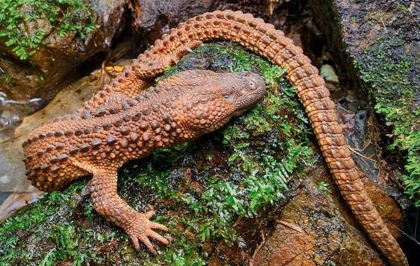Виды-ящериц-с-названиями-особенностями-и-фото-33