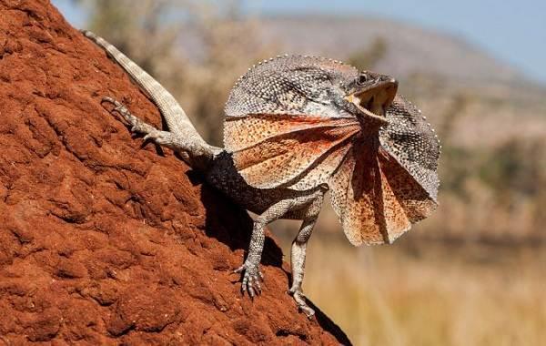 Виды-ящериц-с-названиями-особенностями-и-фото-4