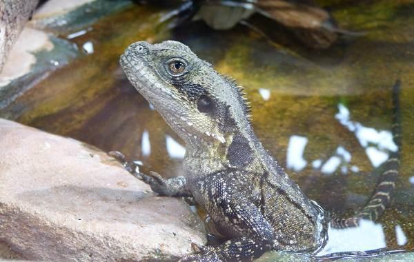 Виды-ящериц-с-названиями-особенностями-и-фото-6